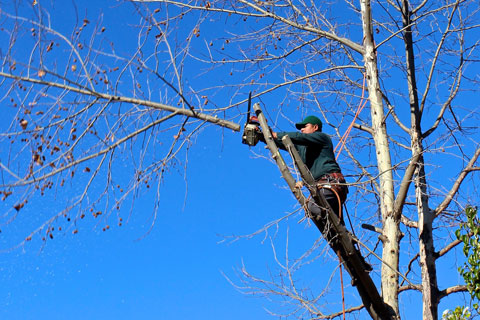 image of a man in a tree cutting limbs